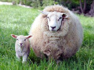 Какая бывает пряжа из овечьей шерсти. Как её выбирать.. Ярмарка Мастеров - ручная работа, handmade.