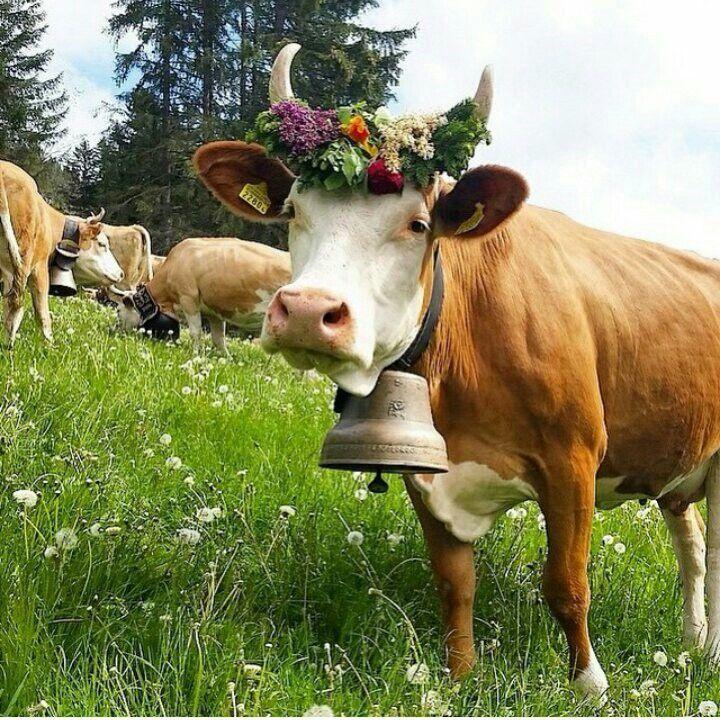 еще картинки корова с цветком двух-комнатная, полностью