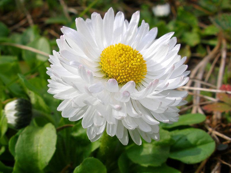 гороскоп, цветочный, июнь, лето, маргаритка, цветок, лепесток, характер