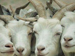 Семеро козлят, или Интересные факты о козьем пухе. Ярмарка Мастеров - ручная работа, handmade.
