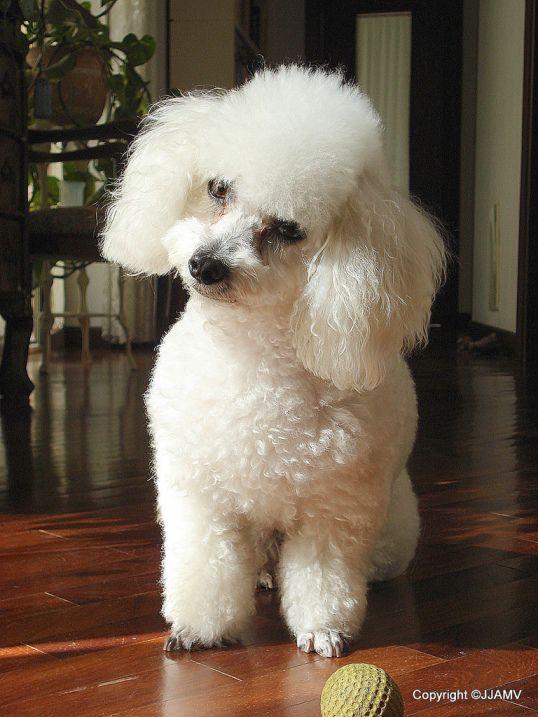 самые маленькие породы собак: Той-пудель. фото