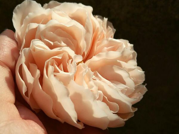 Роза Остина   Ярмарка Мастеров - ручная работа, handmade
