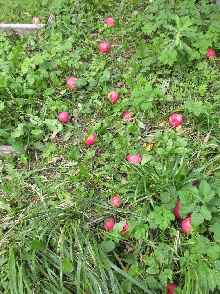 урожай 2016, варенье из яблок