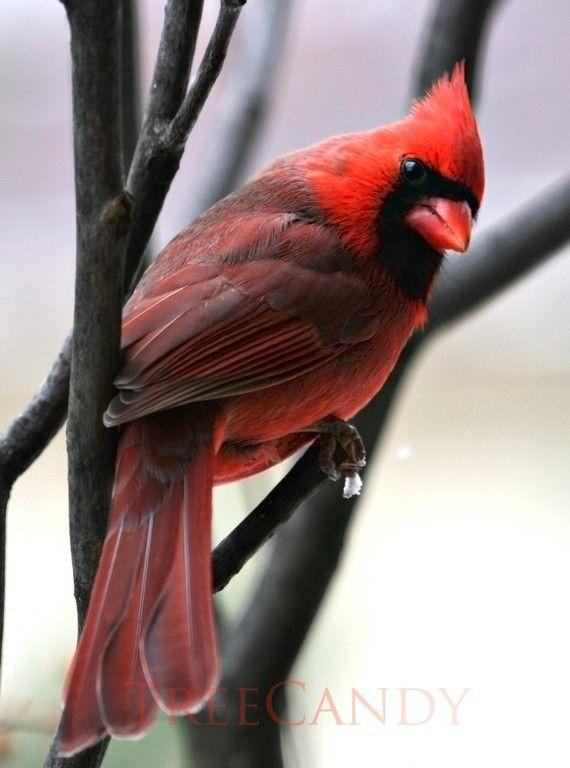 Cardinals!!!