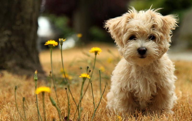 маленькая порода собак Болоньез (итальянская болонка). фото