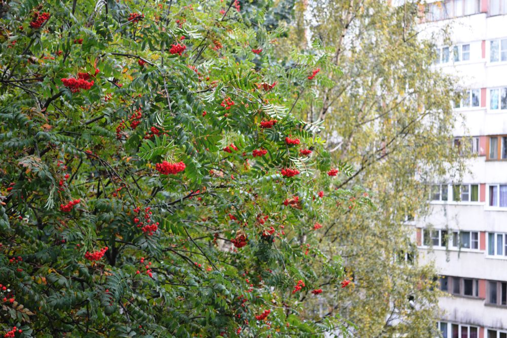 сентиментальная осень, алтайский мед, стихи о рябине