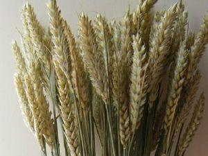 Пшеница натуральная в наличии!. Ярмарка Мастеров - ручная работа, handmade.