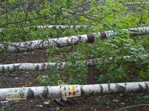 Березовый апокалипсис в московском парке. Ярмарка Мастеров - ручная работа, handmade.