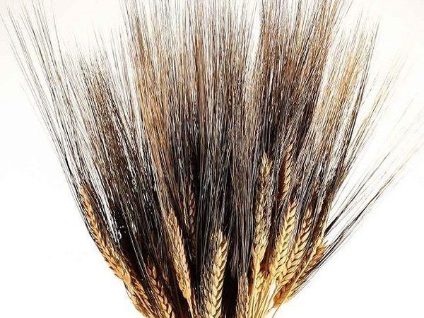 Новые виды пшеницы - сухоцвет! | Ярмарка Мастеров - ручная работа, handmade