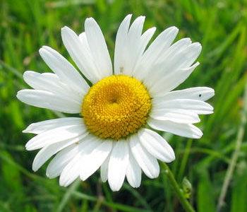 гороскоп, цветы, цветочный, май, ромашка, характер