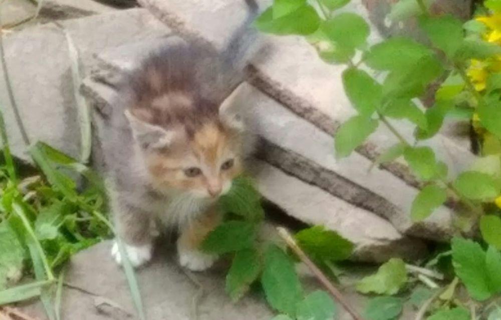 котята ищут дом, трехцветный котенок