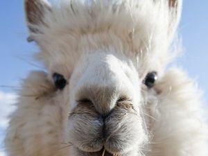Познавательный пост про шерсть альпак. Ярмарка Мастеров - ручная работа, handmade.