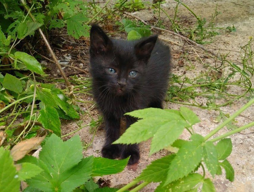котятки, черный котенок