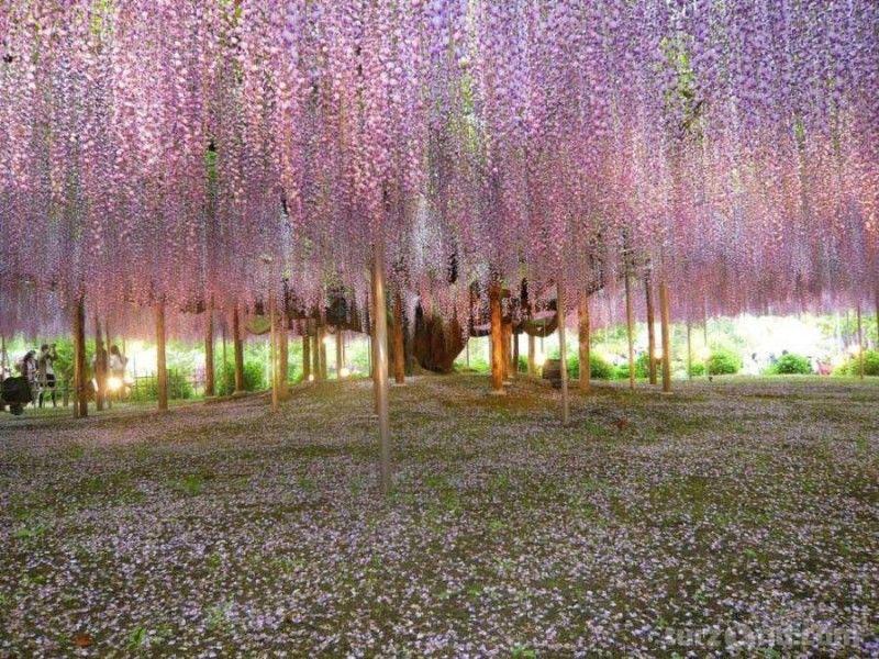 фиолетовый цвет, аромат