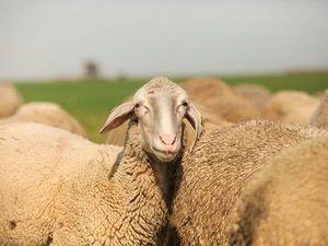 Тирольская горная овца-бергшаф. Ярмарка Мастеров - ручная работа, handmade.