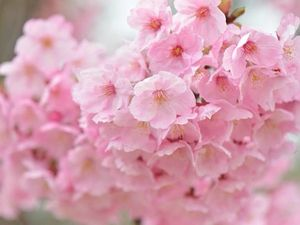 Пахнут весною сливы цветы. Ярмарка Мастеров - ручная работа, handmade.