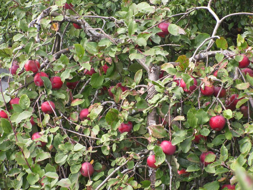 яблочный год, варенье