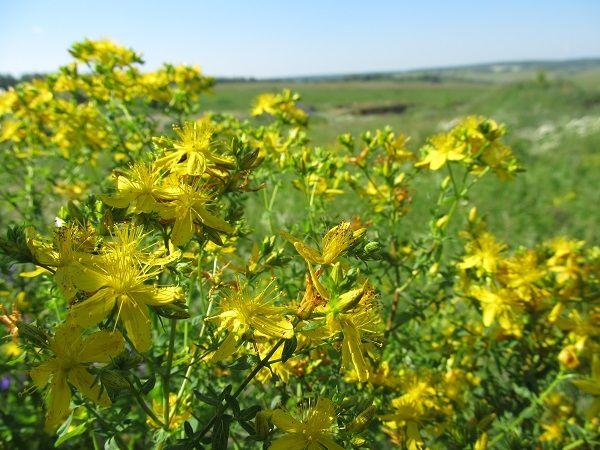 луговые травы, бабушкин сундук