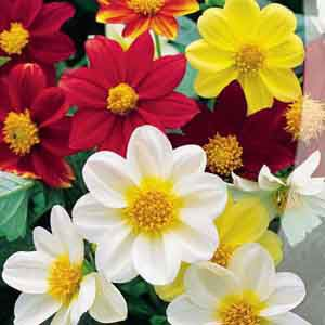 гороскоп, цветы, цветочный, апрель, весна, георгин