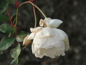 Розы ещё под снегом | Ярмарка Мастеров - ручная работа, handmade