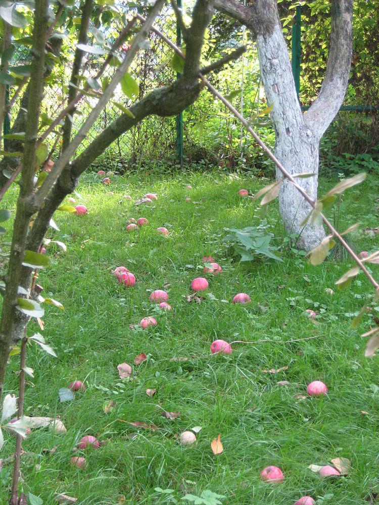 милор, да заберите уже яблоки