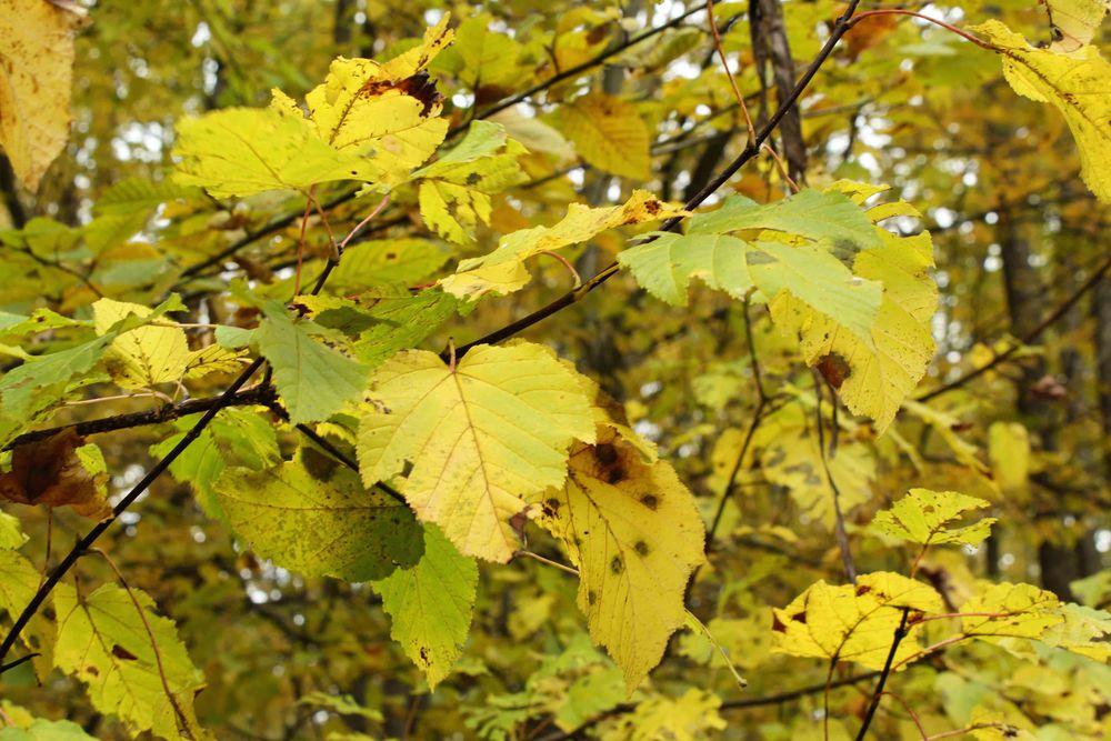 листь