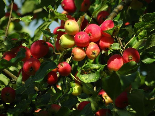 Август. Багряные яблоки и холодные утреники. | Ярмарка Мастеров - ручная работа, handmade