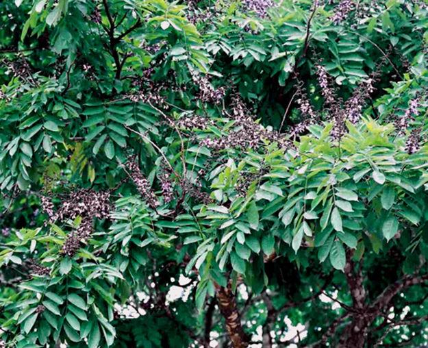венге, ценная порода дерева