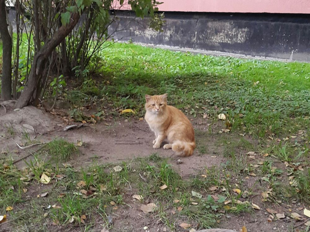 рыжий кот, рыжий кот в подарок