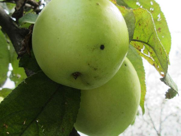 Яблочный марафон ))) | Ярмарка Мастеров - ручная работа, handmade