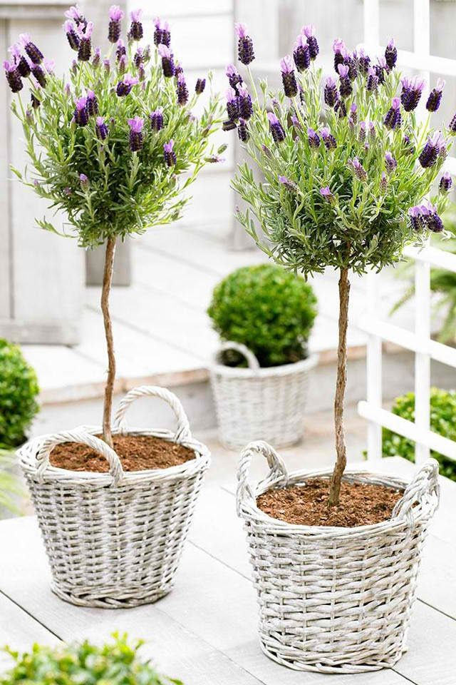 Simple & Pretty Lavender Topiaries