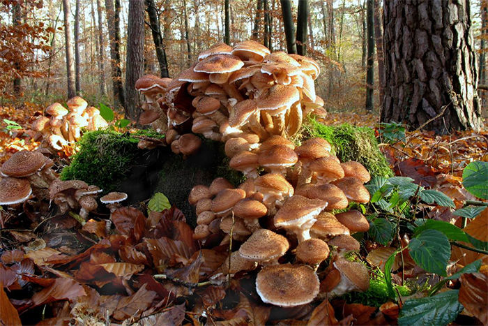 осень, груздь, опенок, в лес за грибами