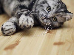 Короткошерстный мраморный котенок окрас табби. Ярмарка Мастеров - ручная работа, handmade.