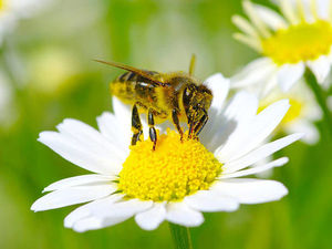 """Истинно ли название """"Пчела медоносная""""?. Ярмарка Мастеров - ручная работа, handmade."""