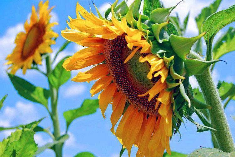 гороскоп, цветы, цветочный, август, лето, характер, подсолнух