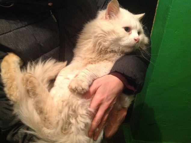 белый кот, помощь кошке, помощь, помощь животным