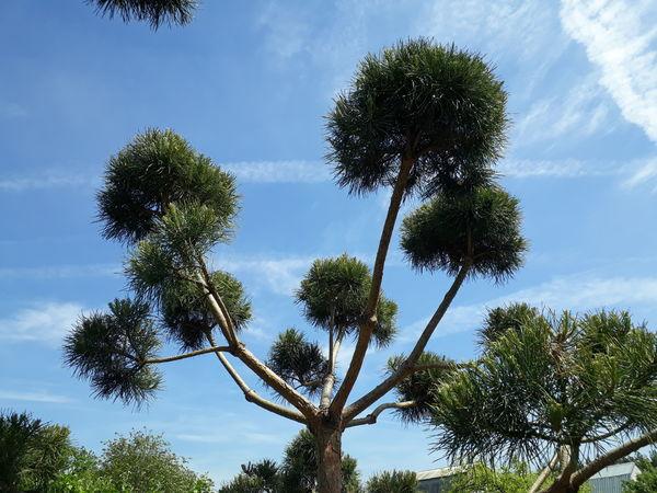 Вот такое дерево мне удалось вырастить... Моя красавица... | Ярмарка Мастеров - ручная работа, handmade
