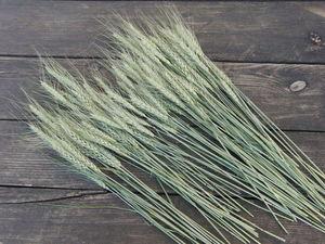 Новинка! Колосья пшеницы остистой доморощенной для букетов по невероятно низкой цене!. Ярмарка Мастеров - ручная работа, handmade.