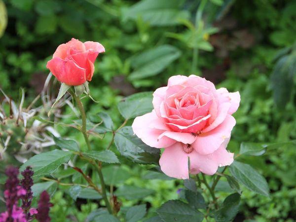 Портреты моих роз.   Ярмарка Мастеров - ручная работа, handmade